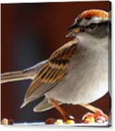 A Hungry Chipping Sparrow Canvas Print