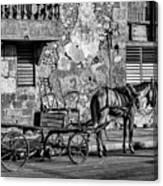 Cuban Horse Power BW Canvas Print
