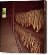 Cuban Tobacco Shed Canvas Print