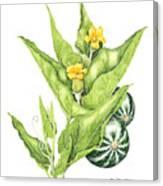 Cucurbita Foetidissima Canvas Print