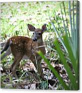 Cumberland Island Deer Canvas Print