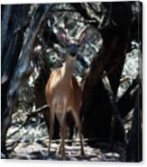 Curious Bambi Canvas Print