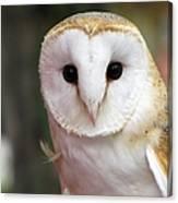 Curious Barn Owl Canvas Print