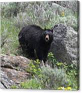 Curious Black Bear Canvas Print