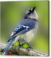 Curious Blue Jay Canvas Print