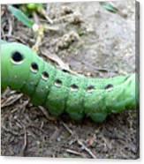 Curious Caterpillar Canvas Print