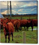 Curious Cattle Canvas Print