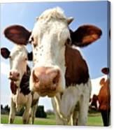 Curious Cow Canvas Print