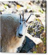 Curious Goat On The Mount Massive Summit Canvas Print