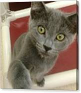 Curious Kitten Canvas Print