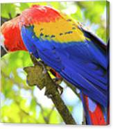 Curious Macaw Canvas Print