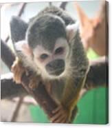 Curious Monkey Canvas Print
