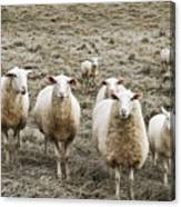 Curious Sheep Canvas Print