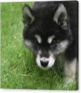 Curiousity Filled Look In The Face Of An Alusky Canvas Print