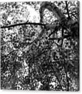 Curving Birch Bw Canvas Print