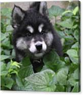 Cute Alusky Puppy In A Bunch Of Plant Foliage Canvas Print