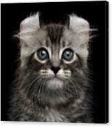 Cute American Curl Kitten With Twisted Ears Isolated Black Background Canvas Print