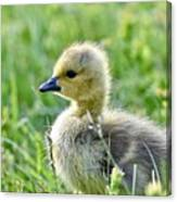 Cute Baby Goose In A Grass Field Canvas Print