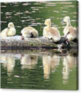 Cute Canadian Geese Chicks Canvas Print