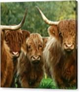 Cute Fluffy Cows Canvas Print