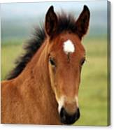 Cute Foal Canvas Print