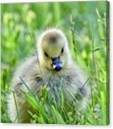 Cute Goose Chick Canvas Print