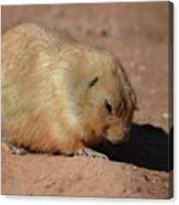 Cute Ground Squirrel Burrowing In The Dirt Canvas Print