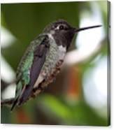 Cute Hummingbird Ready For Action Canvas Print
