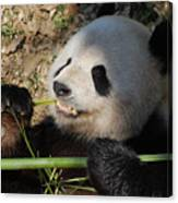 Cute Panda Bear With Very Sharp Teeth Eating Bamboo Canvas Print