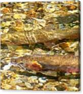 Cutthroat Trout In Clear Mountain Stream Canvas Print