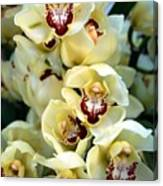 Cybidium Orchids Canvas Print