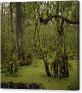 Cypress Forest Canvas Print