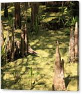 Cypress Knees In Green Swamp Canvas Print