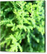 Cypress Leaves Close Up Canvas Print