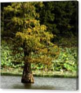Cypress Matters Canvas Print