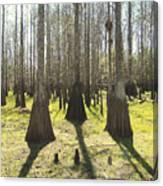 Cypress Sentinals Canvas Print