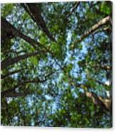 Cypress Tree Canopy Canvas Print