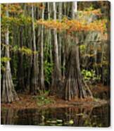 Cypress Trees Forest Canvas Print