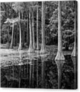 Cypresses In Tallahassee Black And White Canvas Print