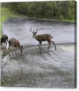 D-a0033 Mule Deer Canvas Print
