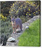 D-a0037 Gray Fox On Our Property Canvas Print