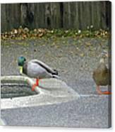 D-a0048 Mallard Ducks In Our Yard Canvas Print