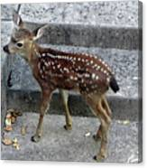 D-a0069 Mule Deer Fawn On Our Property On Sonoma Mountain Canvas Print