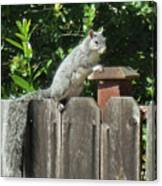 D-a0071-e-dc Gray Squirrel On Our Fence Canvas Print