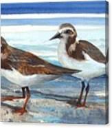 D50-awe116-rb-ruddy Turnstone 1 Roger Bansemer Canvas Print