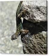 D7b6335 Western Fence Lizard, Male, Sonoma Mountain, Ca Canvas Print
