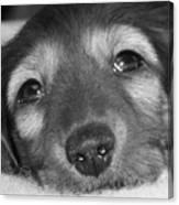 Dachshund Puppy Canvas Print
