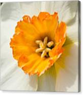 Daffodil Narcissus Flower Canvas Print