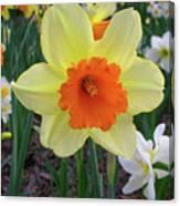 Daffodil 0796 Canvas Print
