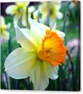 Daffodil 2 Canvas Print